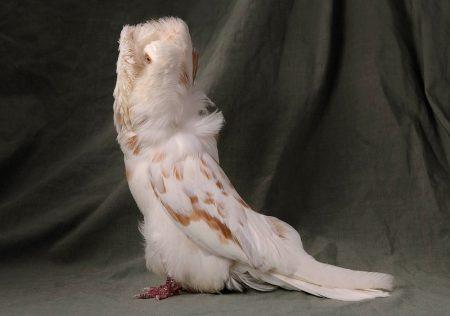 صور حمام خلفيات طيور الحمام الملونة بانواعها  (5)
