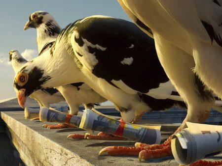 صور طائر الحمام (3)