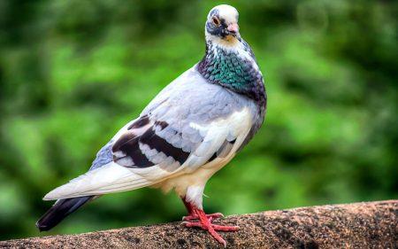صور طائر الحمام (4)