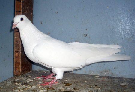 طيور الحمام بالصور (1)