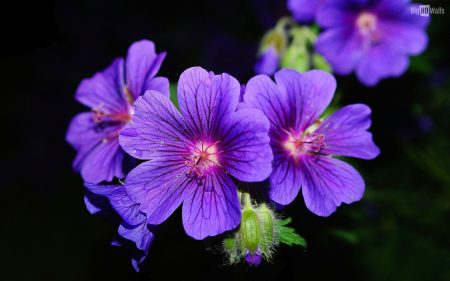 اجمل صور لزهرة البنفسج (2)