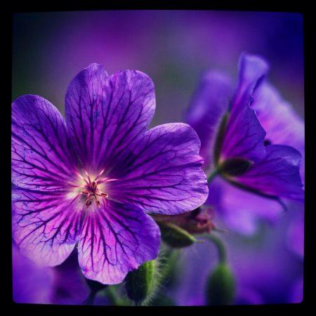 اجمل صور لزهرة البنفسج (3)