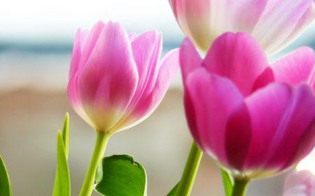 الوان زهرة التوليب المختلفة (3)