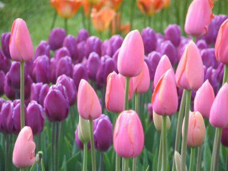 الوان زهرة التوليب المختلفة (4)