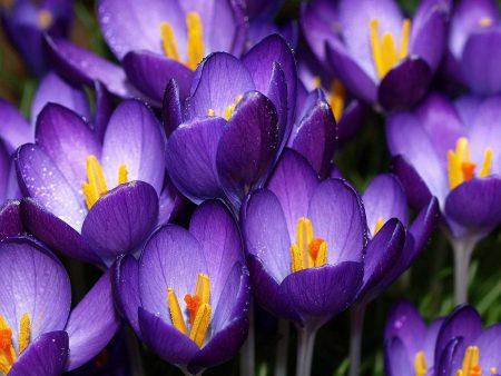 زهرة البنفسج رمزيات جميلة للزهور (2)