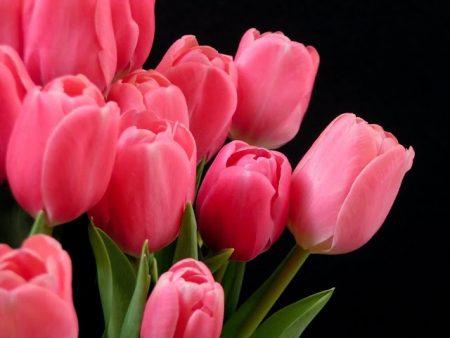 زهرة التوليب  (2)