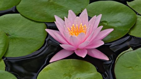 Hybrid water lily, Louisville, Kentucky Nympheaceae spp.