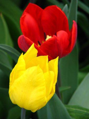 زهره التوليب اصفر (2)