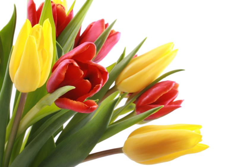 صور زهرة التوليب خلفيات ورمزيات وردة التوليب بالوانها ميكساتك