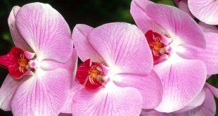 صور زهرة الأوركيد اجدد خلفيات ورمزيات HD لزهور الأوركيد 4