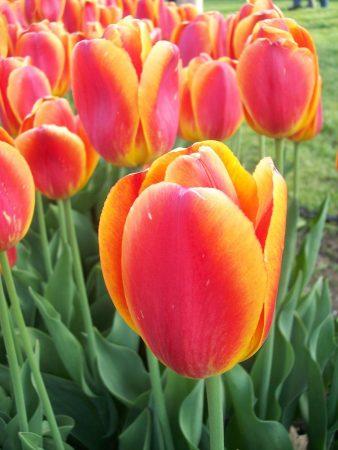 صور زهرة التوليب خلفيات ورمزيات وردة التوليب بالوانها (5)