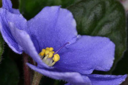 صور زهور البنفسج  (1)