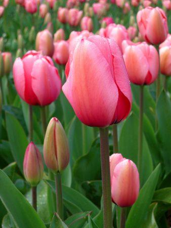 صور زهور التوليب (1)