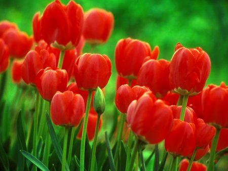 صور زهور التوليب (3)