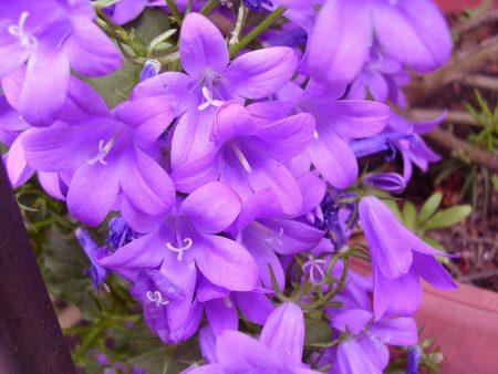 صور وردة البنفسج (1)