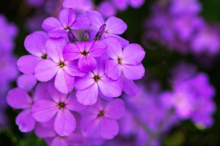 صور وردة البنفسج (2)