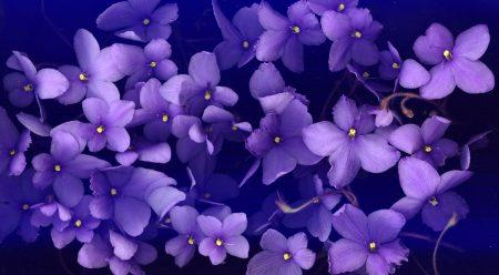 صور وردة البنفسج (4)
