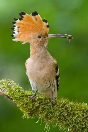 hoopoe-photos-2