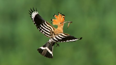 hoopoe-wallpapers-1