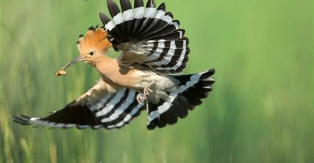 hoopoe-wallpapers-2
