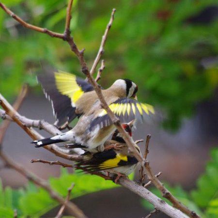 اجمل صور طائر الحسون (1)