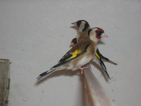 اجمل صور طائر الحسون (2)