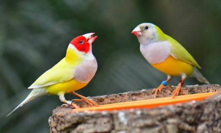 احلي واجمل صور لطائر الحسون (2)