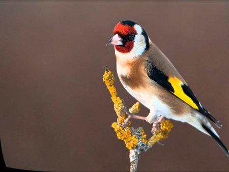 خلفيات طائر الحسون (2)