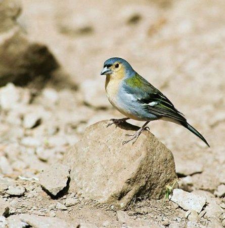 رمزيات وخلفيات طيور الحسون (3)