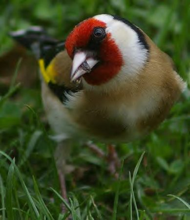 صور رمزية لطائر الحسون (1)