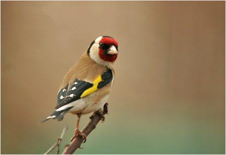 صور رمزية لطائر الحسون (2)