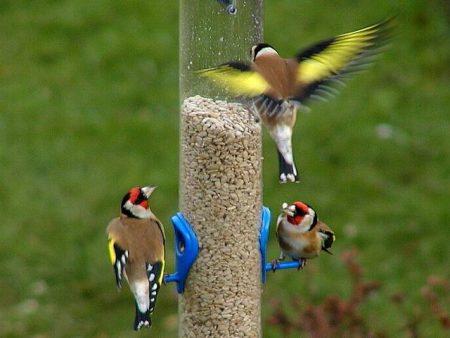 صور طائر الحسون خلفيات ورمزيات طيور HD (1)