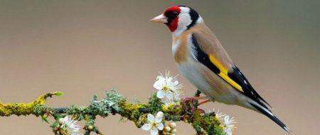 صور طائر الحسون خلفيات ورمزيات طيور HD (2)