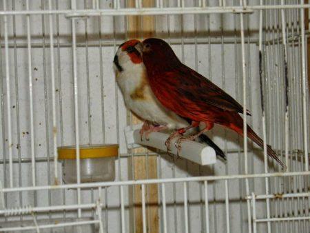 صور طائر الحسون خلفيات ورمزيات طيور HD (3)