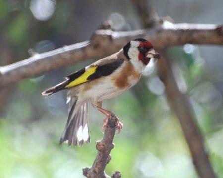 صور طائر الحسون خلفيات ورمزيات طيور HD (4)