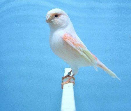 صور طائر الكناري (1)