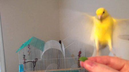 صور طائر الكناري (2)