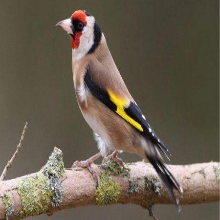 صور طيور الحسون ملونة (1)