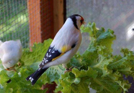 صور طيور الحسون ملونة (3)