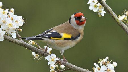 طائر الحسون بالصور (1)