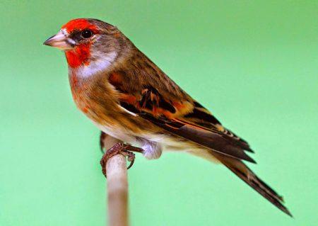 طائر الحسون بالصور (2)
