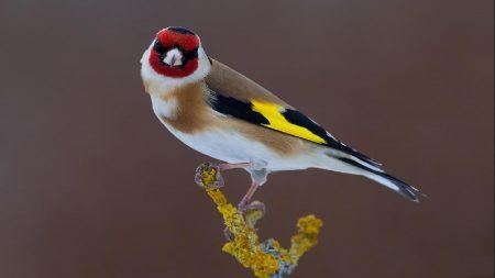 طائر الحسون بالصور (3)