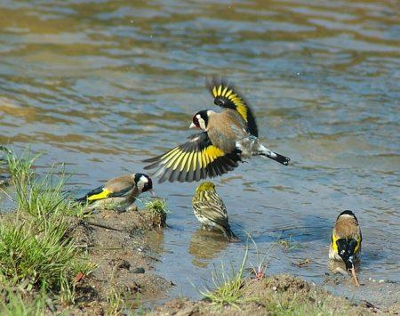 طائر الحسون بالصور (4)