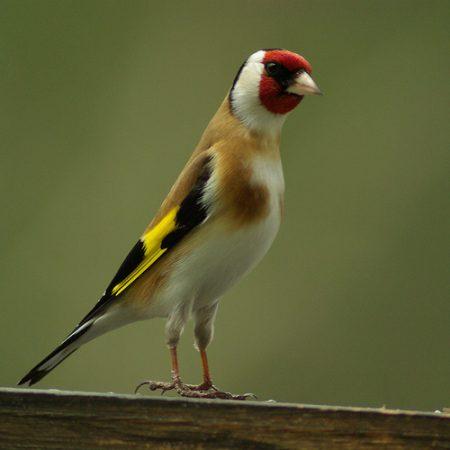 طائر الحسون في صور وخلفيات (1)