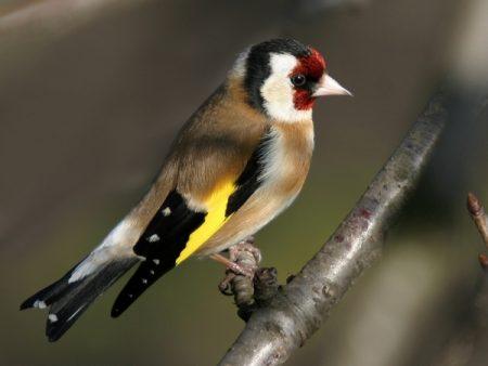 طائر الحسون في صور وخلفيات (2)
