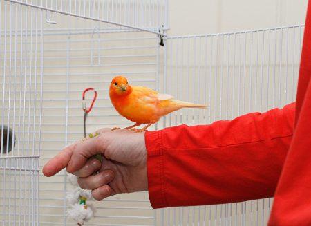 طائر كناري (1)