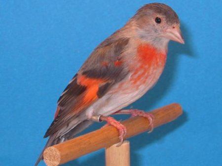 طائر كناري (2)