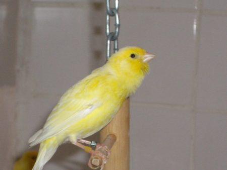 طائر كناري (3)