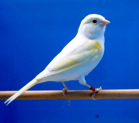 طيور كناري (2)