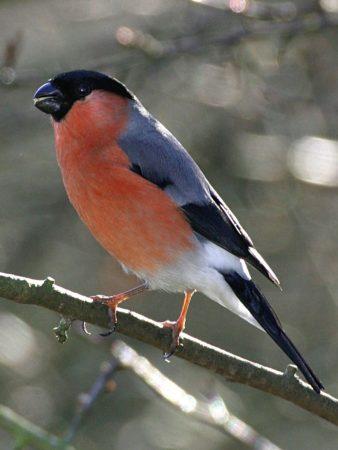 عصافير الحسون (2)